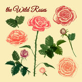 De färgglade lösa rosorna - royaltyfri illustrationer