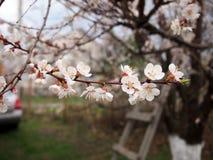 De första blommorna av aprikosträdet arkivfoto