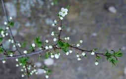 De första körsbärsröda blomningarna Royaltyfri Foto