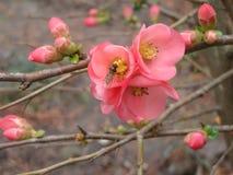 De första vårblommavariationerna av Japan kvittenjapan Royaltyfri Fotografi