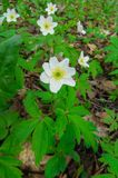 De första vårblommorna, en skoganemon arkivbilder