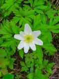 De första vårblommorna, en skoganemon fotografering för bildbyråer
