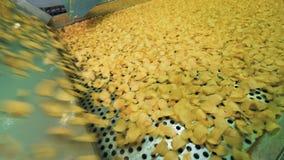 De fabrieksmachine vestigt gebraden aardappelstukken opnieuw Chipsproductielijn stock videobeelden