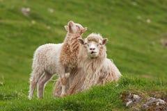 De Faeröer, schapen Stock Afbeeldingen