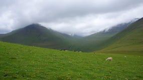De Faeröer, sheeps weidend op de berg Stock Foto