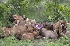 De familie die van de leeuw hun prooi eet royalty-vrije stock afbeelding