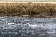 De Familie die van de trompetterzwaan samen in Wyoming zwemmen stock foto's