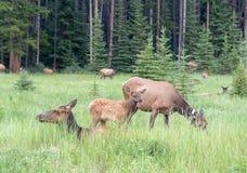 De Familie Koele Tijd van de elandenkudde Stock Fotografie