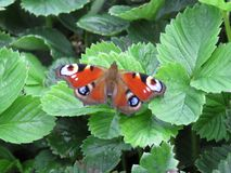 De Familie Nymphalidae van de pauwvlinder op een groen blad stock foto's