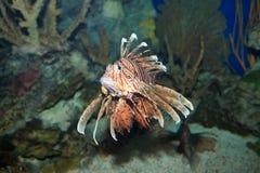 De familie Scorpaenidae van Lionfish Stock Afbeeldingen
