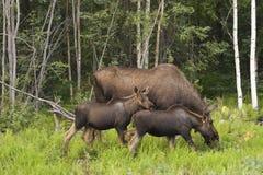 De familie van Amerikaanse elanden Stock Foto