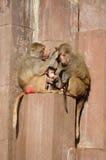 De familie van de aap royalty-vrije stock fotografie