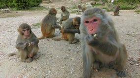 De familie van de aap Stock Afbeeldingen