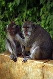 De familie van de aap Stock Afbeelding