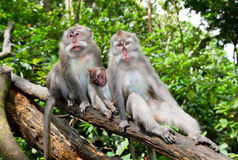 De familie van de aap in bos, Ubud, Bali stock afbeeldingen