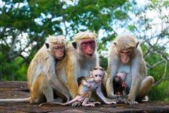 De familie van de aap in Sigiriya, Sri Lanka Royalty-vrije Stock Foto's