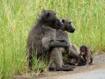 De Familie van de baviaan Stock Afbeeldingen