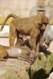 De familie van de baviaan Stock Foto's