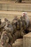 De Familie van de baviaan Royalty-vrije Stock Afbeeldingen