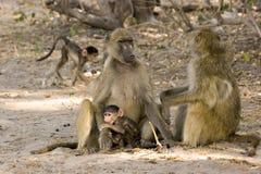 De familie van de baviaan Stock Fotografie