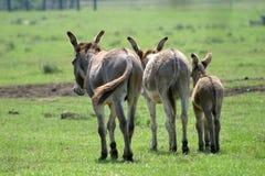 De familie van de ezel Royalty-vrije Stock Foto's