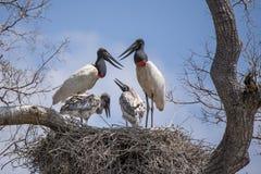 De Familie van de Jabiruooievaar bij Nest het Communiceren Royalty-vrije Stock Foto