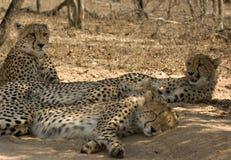 De familie van de jachtluipaard Stock Foto's
