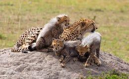 De Familie van de jachtluipaard Royalty-vrije Stock Afbeeldingen