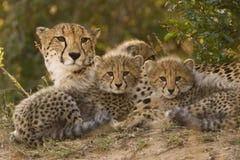 De familie van de jachtluipaard Stock Afbeelding