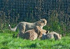 De familie van de jachtluipaard eet Stock Foto's