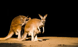 De familie van de kangoeroe Stock Foto's