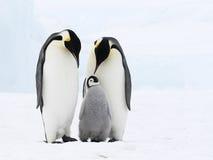 De familie van de keizerpinguïn stock afbeeldingen