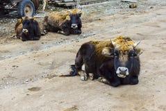 De familie van de koe Stock Afbeelding