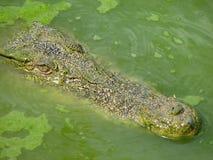 De Familie van de krokodil Stock Afbeelding