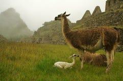 De familie van de lama op machupicchu Stock Afbeeldingen