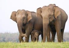 De familie van de olifant Royalty-vrije Stock Fotografie