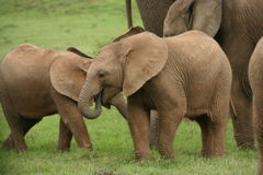 De familie van de olifant Royalty-vrije Stock Foto