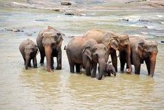 De Familie van de olifant in Sri Lanka Stock Afbeelding