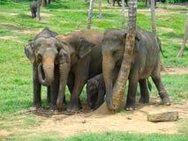 De Familie van de olifant in Sri Lanka Stock Afbeeldingen