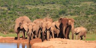 De Familie van de olifant in Waterhole Stock Afbeelding