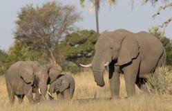 De familie van de olifant in wildernis Royalty-vrije Stock Fotografie
