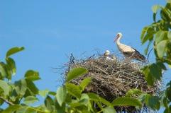 De familie van de ooievaar in een nest Stock Foto's