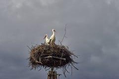 De familie van de ooievaar in het nest Royalty-vrije Stock Foto's