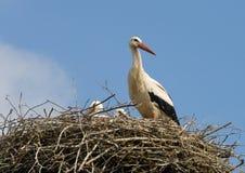 De familie van de ooievaar in nest Stock Afbeelding