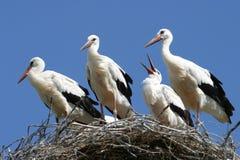 De familie van de ooievaar op het nest Stock Foto