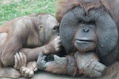 De familie van de orang-oetan Royalty-vrije Stock Afbeeldingen