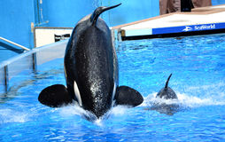 De Familie van de orka Stock Foto's