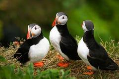 De Familie van de papegaaiduiker op de rots Royalty-vrije Stock Afbeeldingen