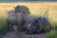 De familie van de rinoceros in vroeg ochtendlicht Royalty-vrije Stock Foto