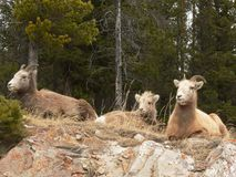 De Familie van de Schapen van Bighorn Royalty-vrije Stock Foto's